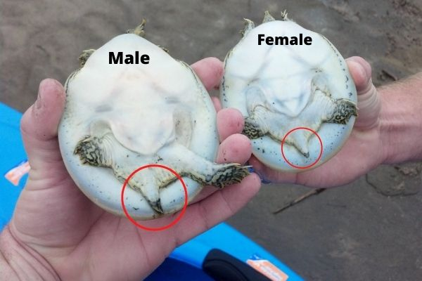 male vs female softshell turtle tail