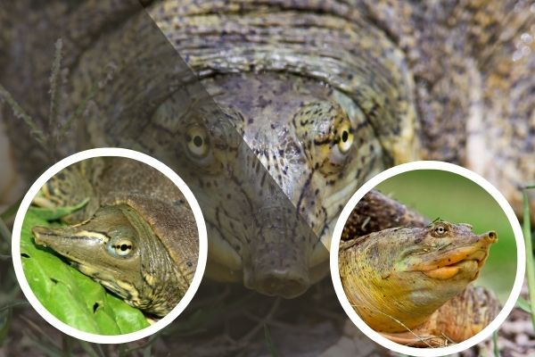 How To Take Care Of A Softshell Turtle
