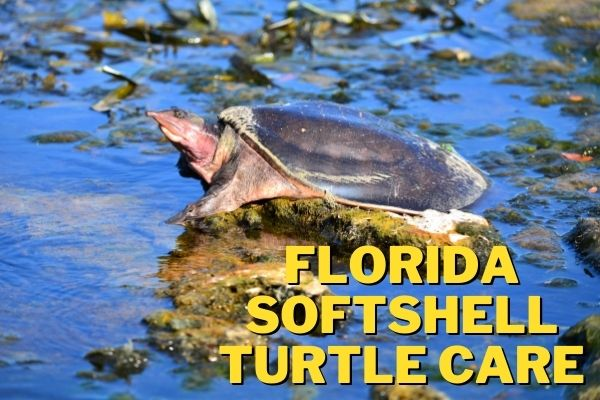 florida softshell turtle care