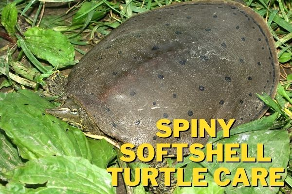 spiny softshell turtle care