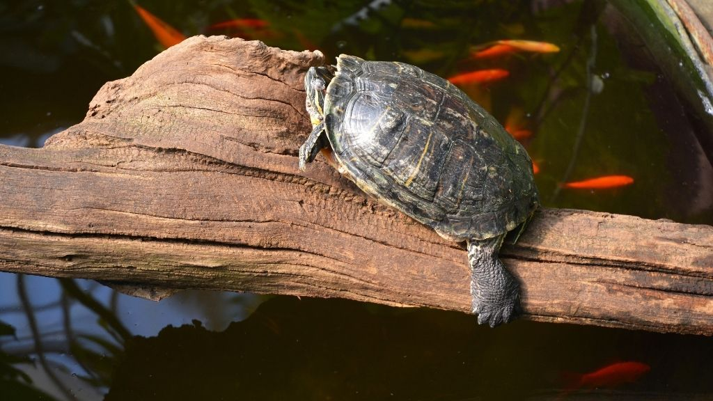 How Do Turtles Sleep Underwater