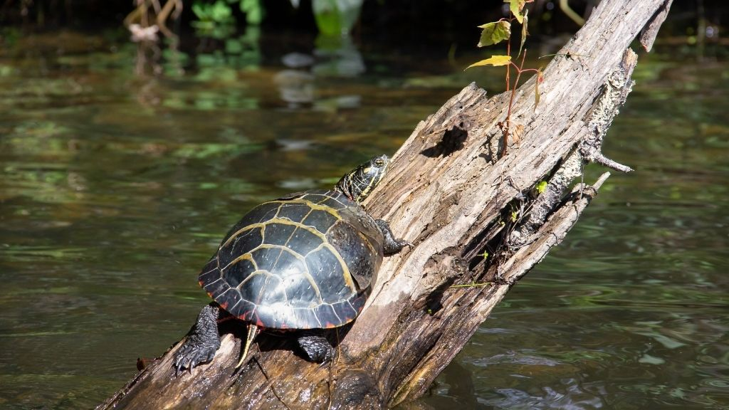 Can Turtles Sleep Outside The Water