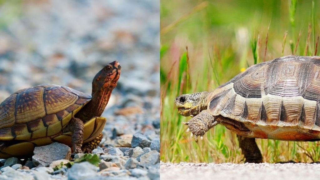 Are Tortoises Slower Than Turtles