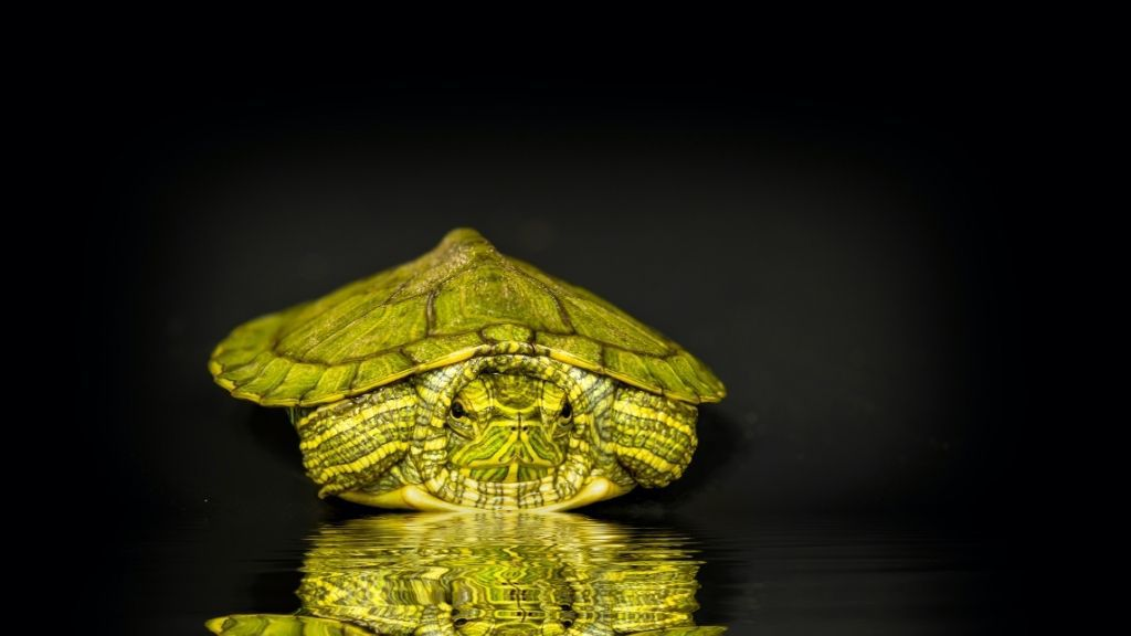 Baby Red Eared Sliders care