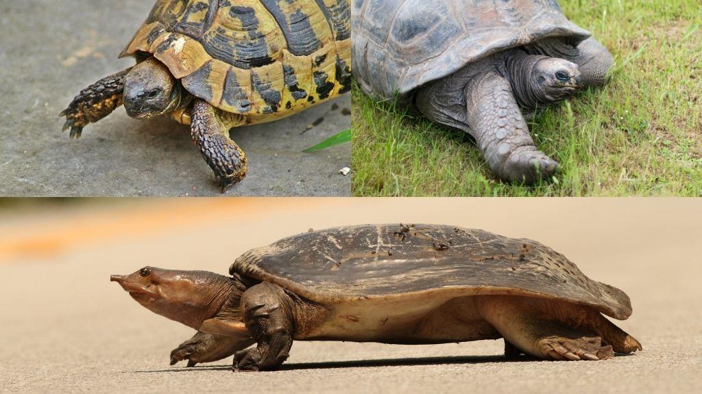 Can Turtles Run