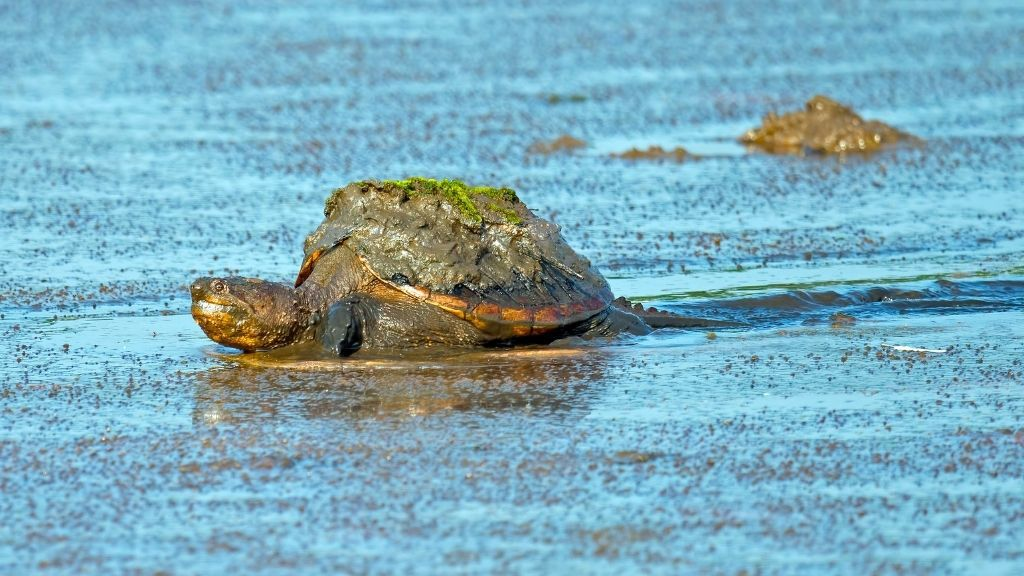 How Fast Can A Snapping Turtle Run