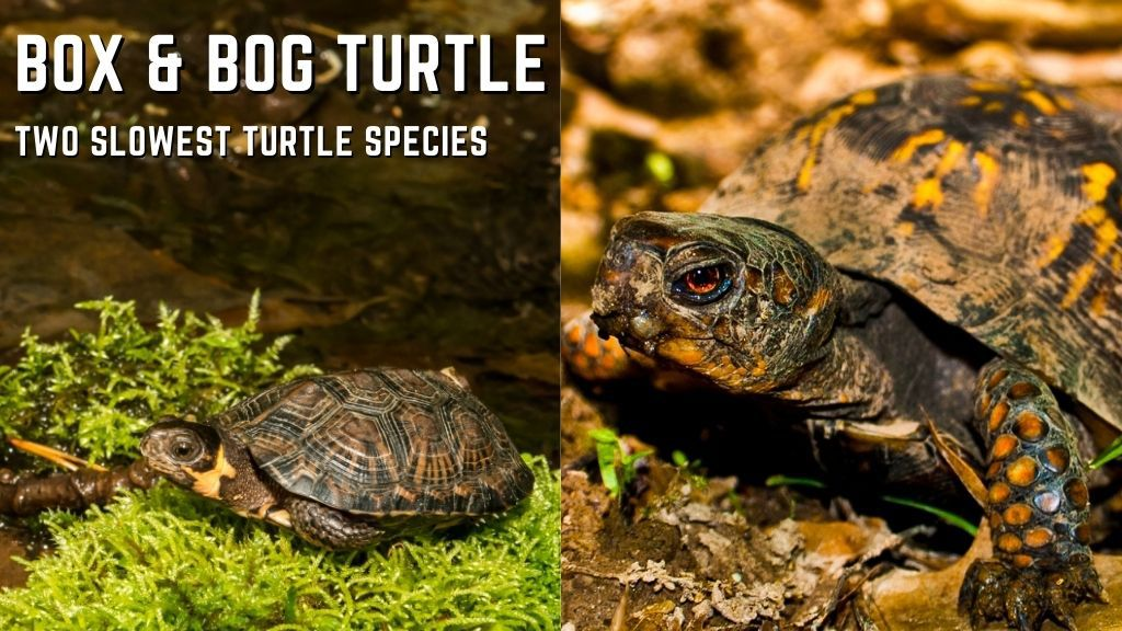bog and box turtle speed