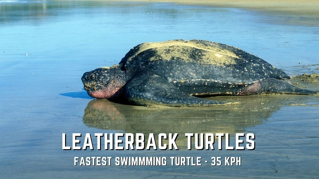 leatherback turtles speed