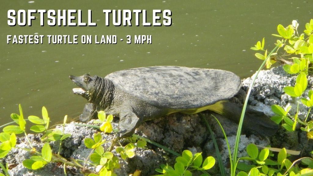 softshell turtles speed