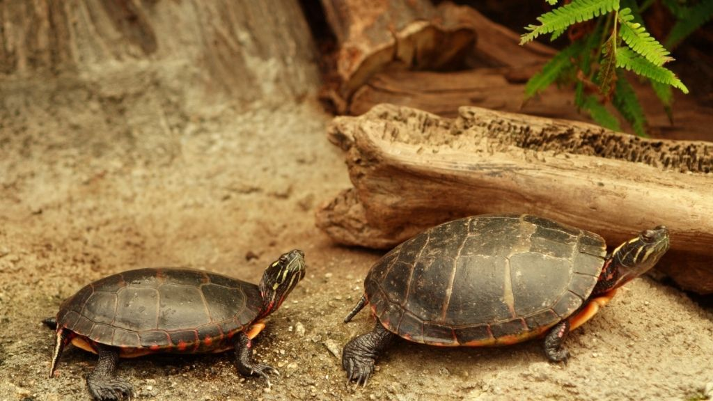 Can You House Two Turtles In A Single Tank