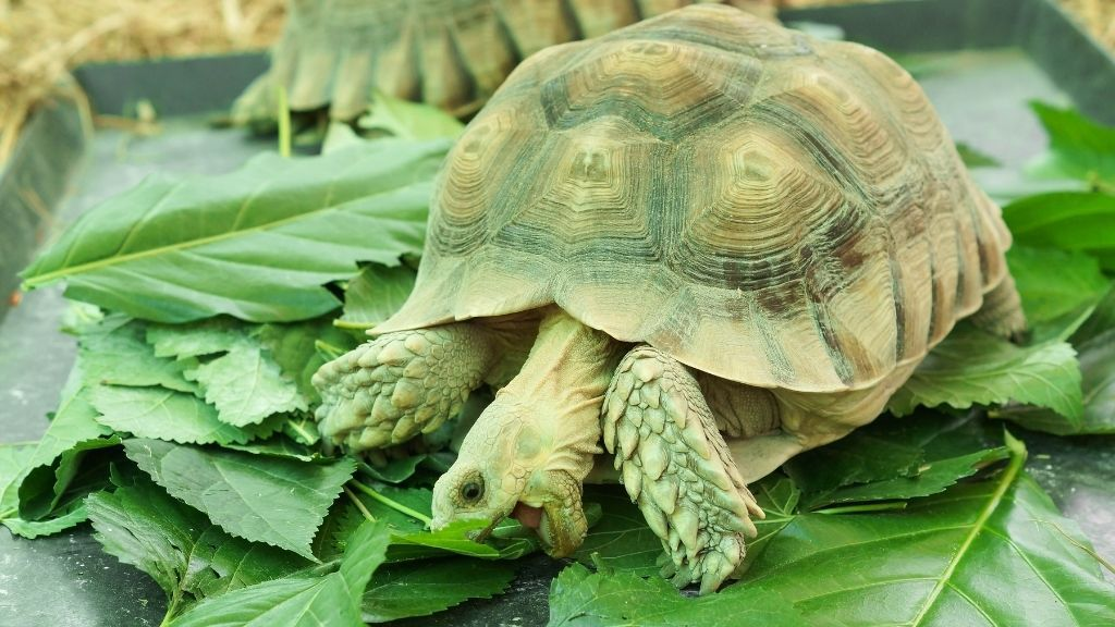 How To Help Your Sulcata Tortoise Live A Longer Life