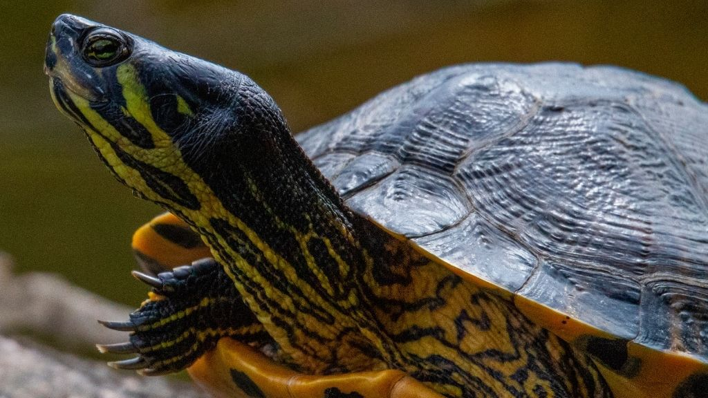 How To Take Care Of Yellow Bellied Slider