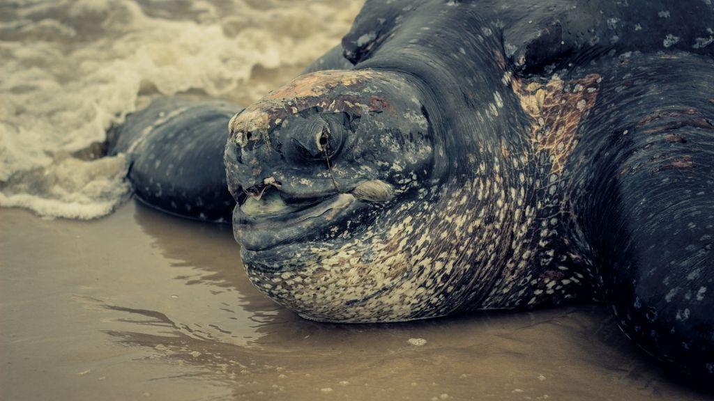 Leatherback Sea Turtle Lifespan