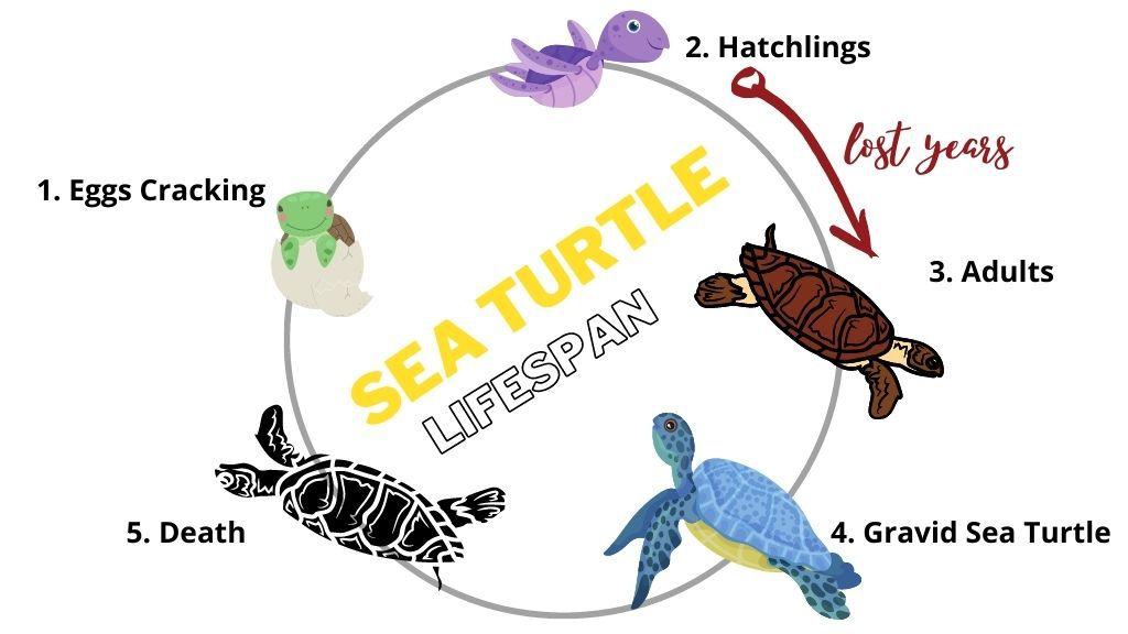 Sea Turtle Lifespan Chart