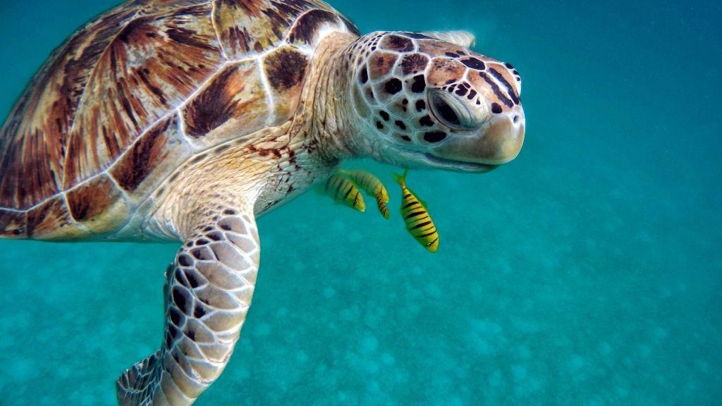 Sea Turtle Lifespan