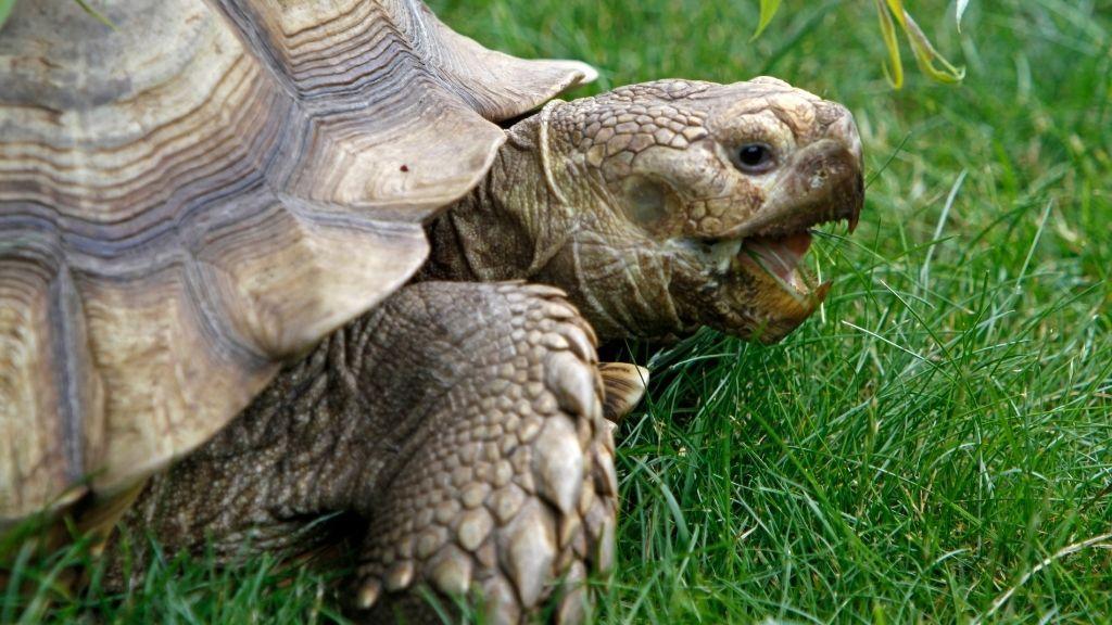 Why Do Sulcata Tortoises Live So Long