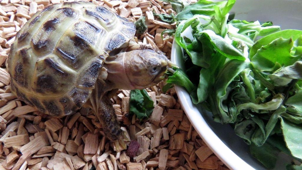Baby Tortoise Diet & Feeding Guide