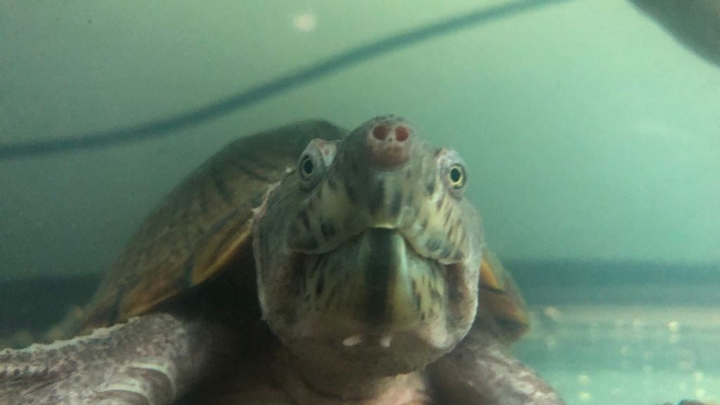 musk turtle age visual signs