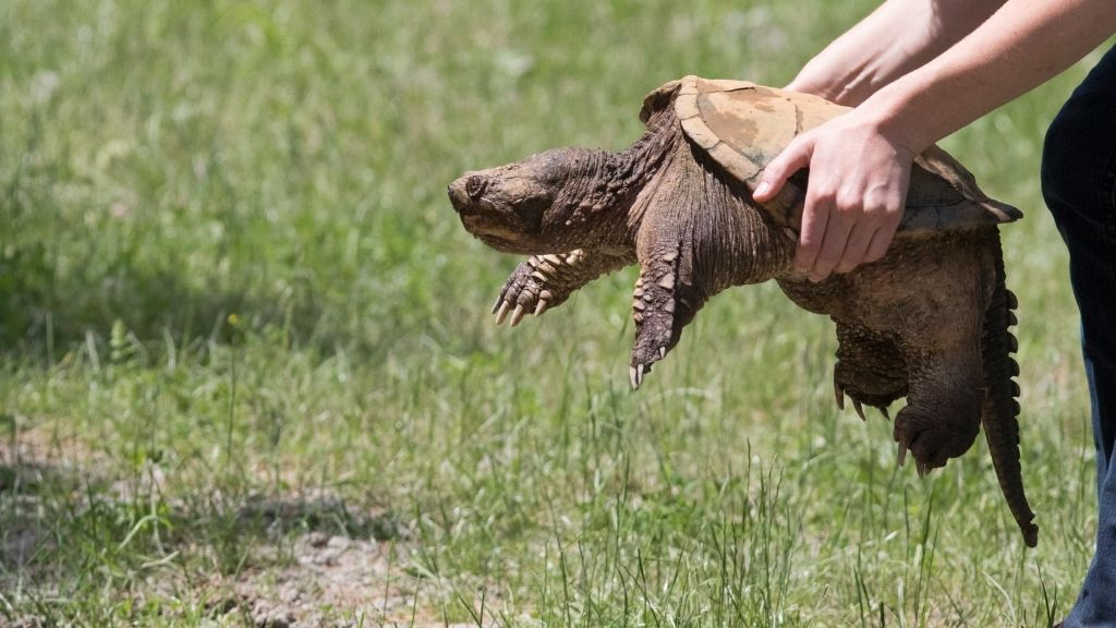 How To Pick Up A Snapping Turtle