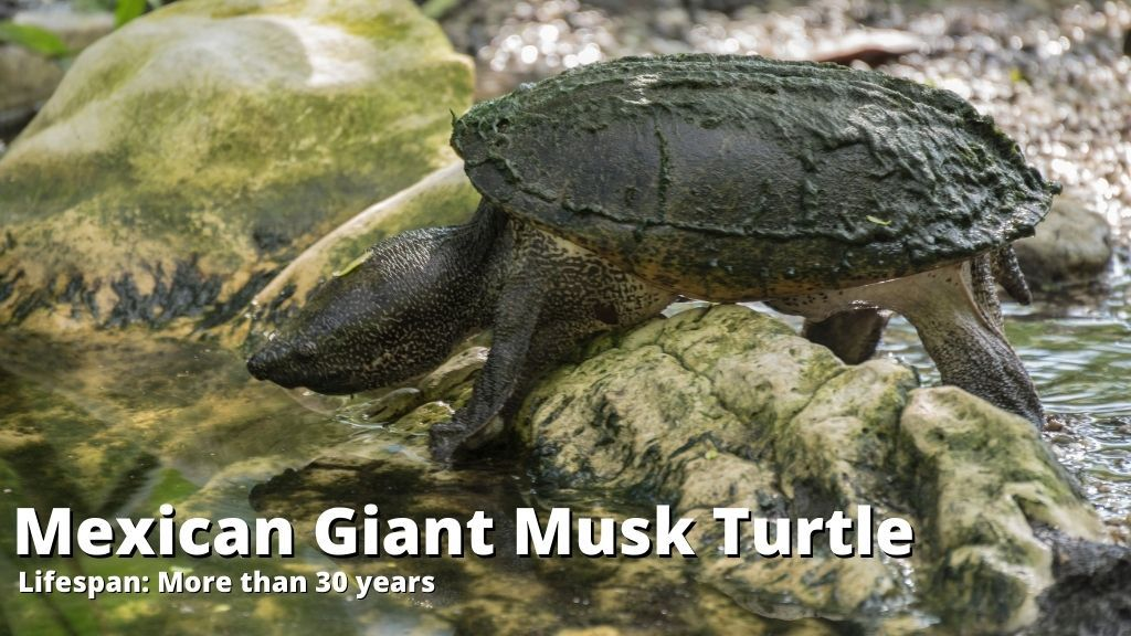 Mexican Giant Musk Turtle lifespan