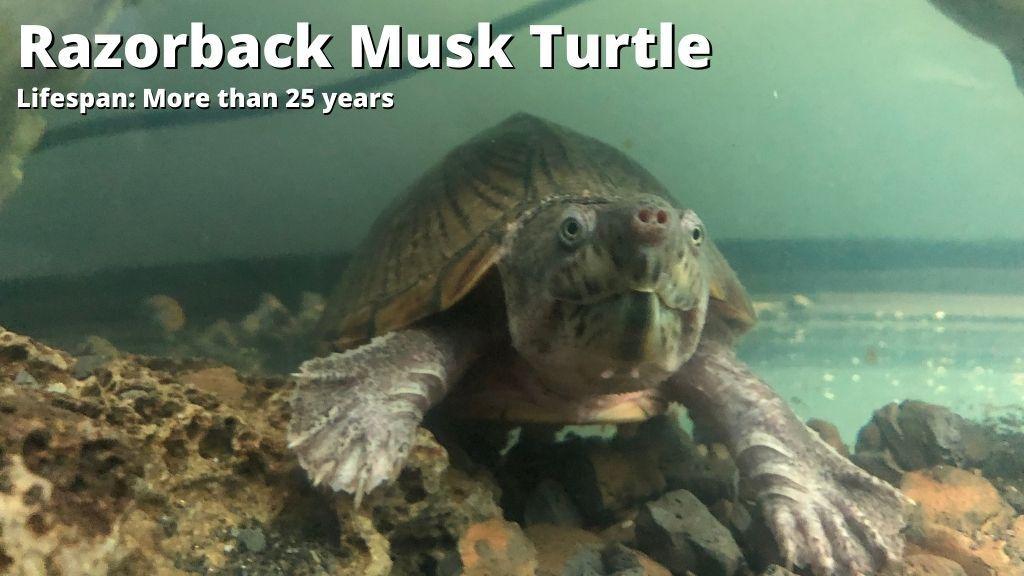 Razorback Musk Turtle lifespan