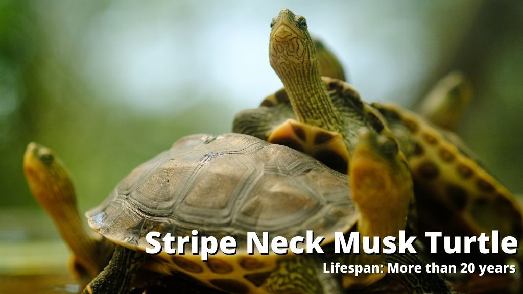 Stripe Neck Musk Turtle lifespan