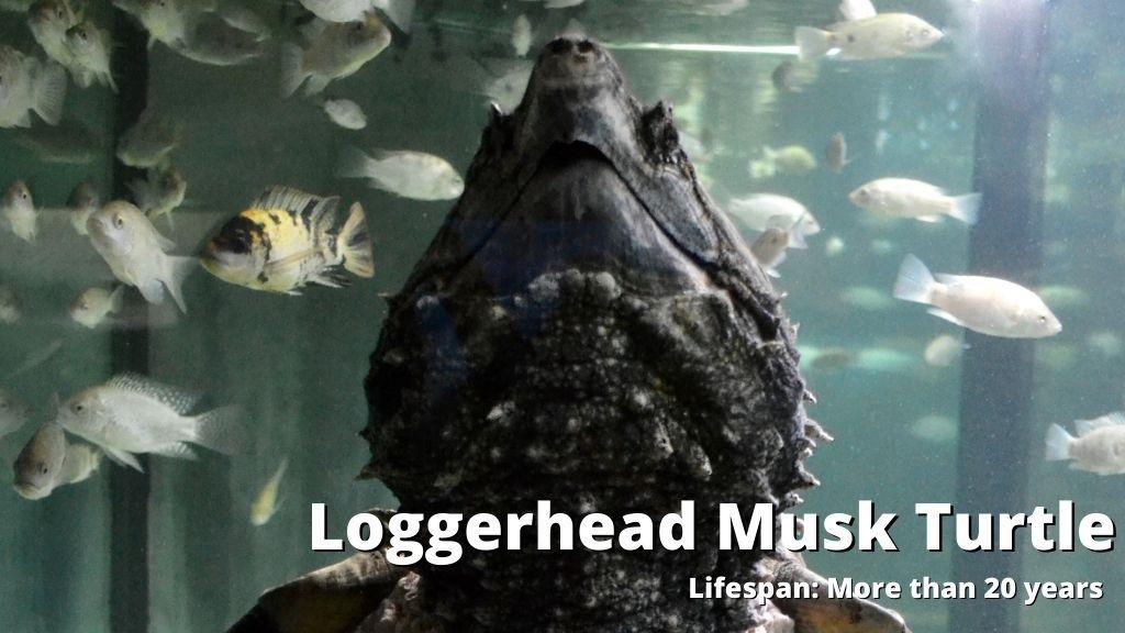 loggerhead Musk Turtle lifespan