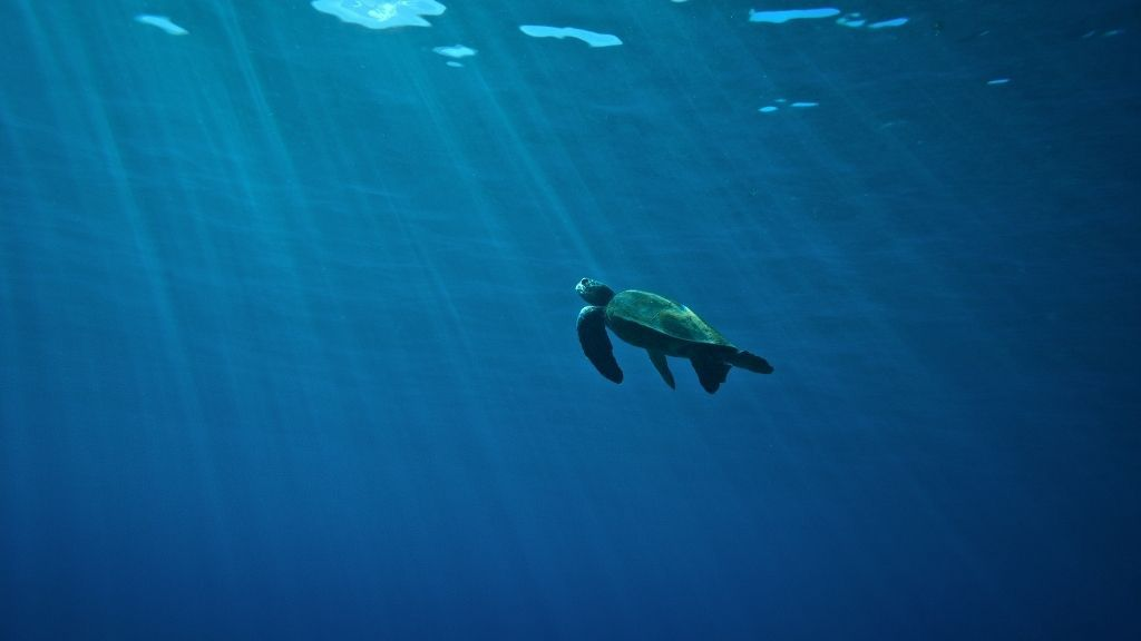 How Long Can A Sea Turtle Hold Its Breath