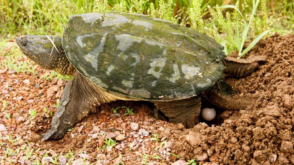 How Long Do Snapping Turtle Eggs Incubate