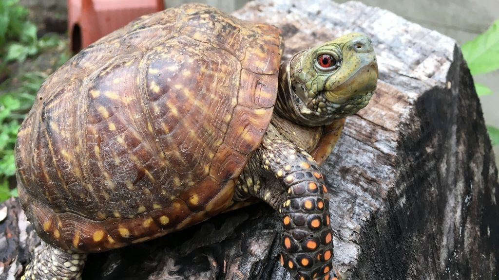 How To Take Care Of Ornate Box Turtle