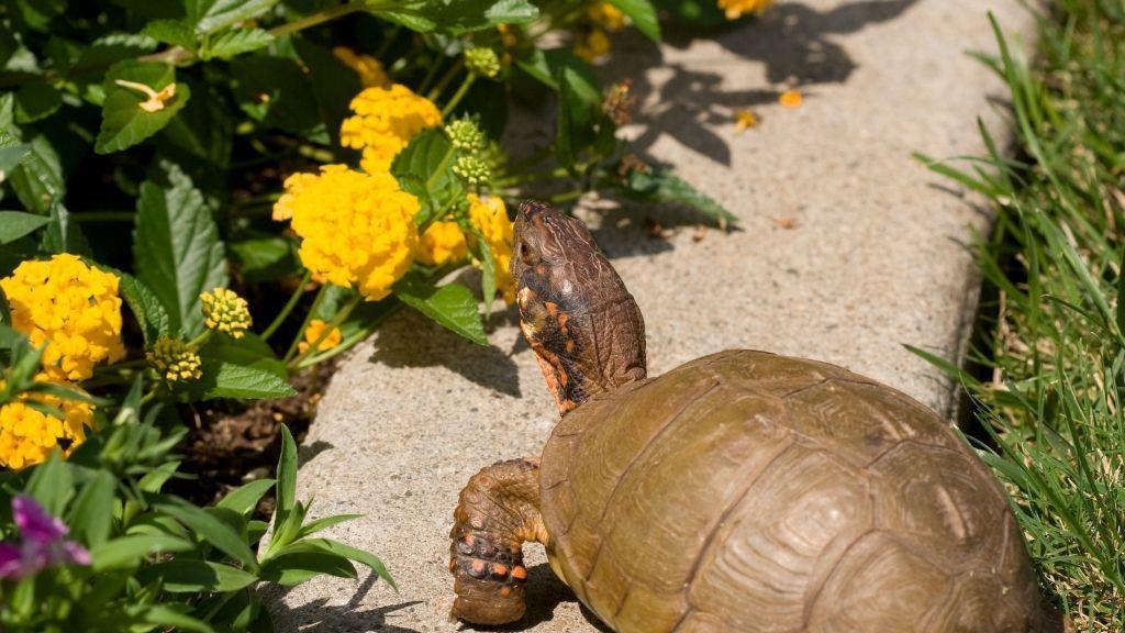 Ornate Box Turtle Diet