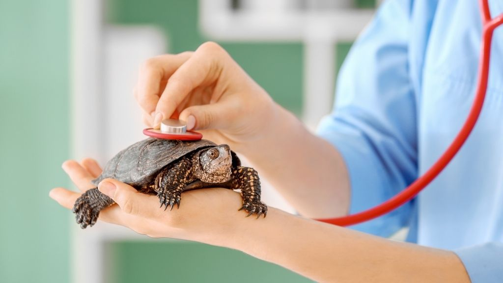 Ornate Box Turtle Health Problems And Treatments