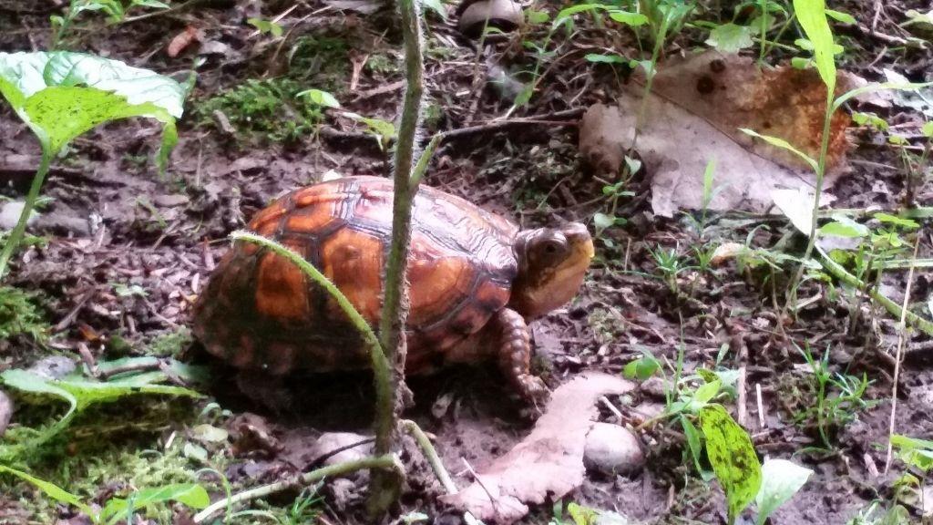 Ornate Box Turtle habitat