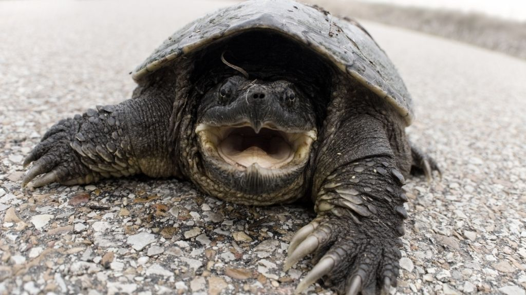 Snapping Turtle In Yard